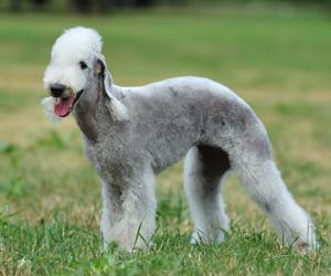 מגניב כלבים קטנים - חנות עולם של כלבים DogsWorld ZI-72