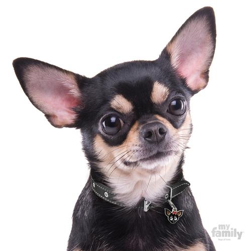 עדכני תג שם כלב צ'יוואווה שחור CHIHUAHUA BLACK My family - My family KD-45