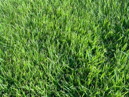 מיוחדים דשא מוכן סופר אלטורו שומר על צבעו גם בעונת החורף! עכשיו במחיר מיוחד LZ-87